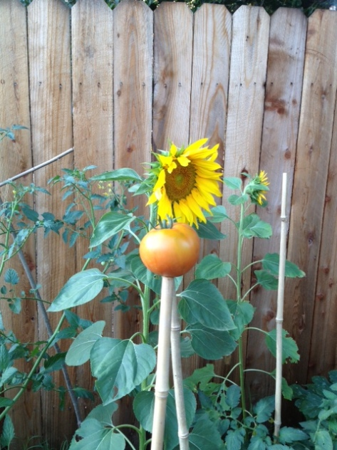 Ripening Tomato in the Sunflower Shine