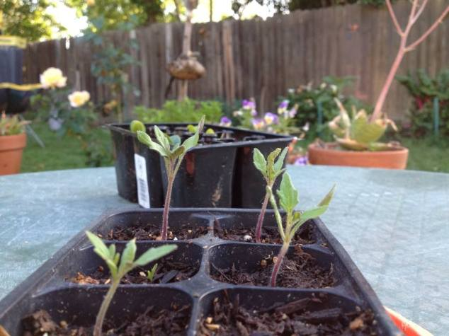 Germination's Determination: Solanum lycopersicum