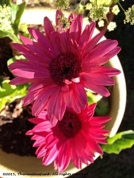 Shasta Daisy Pink