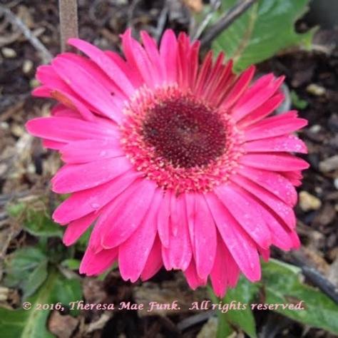 Pink Shasta 2
